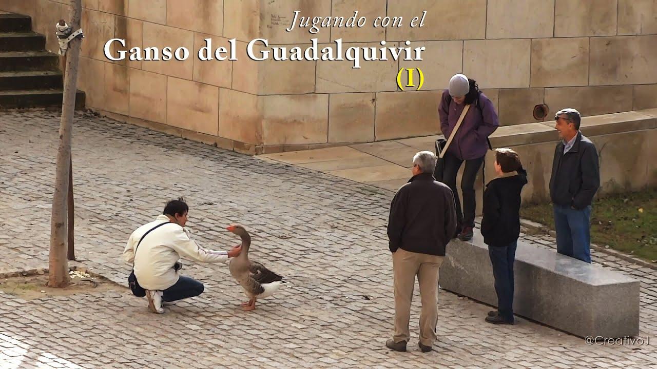 Jugando Con El Ganso Del Guadalquivir I 11 Nov 2012 Youtube