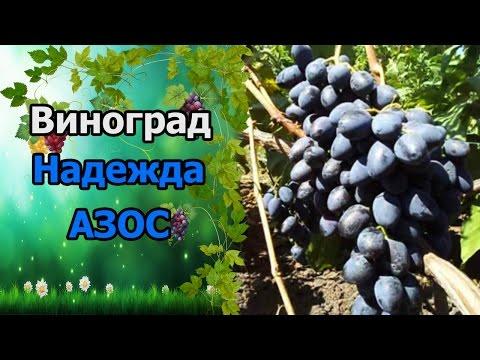 🍇Сорт винограда Надежда азос. #СтоловыеСортаВинограда.