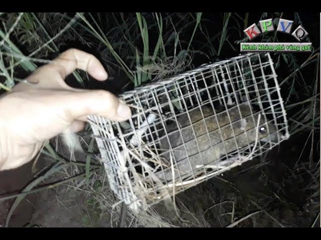 Đặt bẫy chuột đồng mùa nước nổi ở miền tây - Khám phá vùng quê