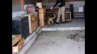 Dual Purpose Police Dog Pedro Search Training