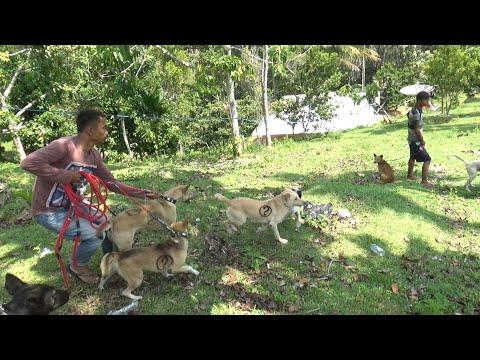 Berburu Hama Babi Hutan Di Puncak Ampalu Kabupaten Solok
