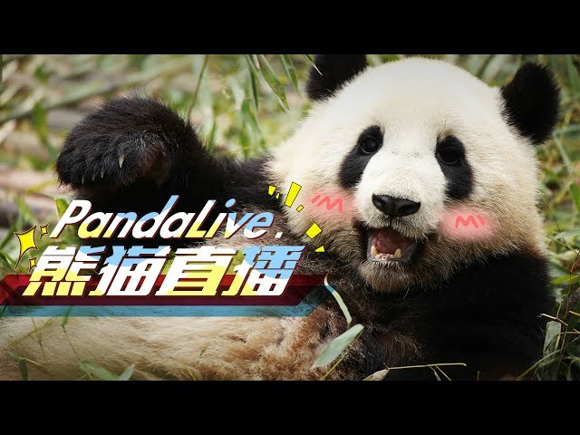 24/7 HD Panda Live MOVED to new link. See in description ⬇️⬇️⬇️