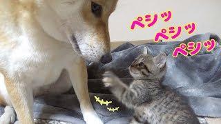 柴犬リコが子猫リリリムにお母さん役のようにお尻をナメナメ。とても気...
