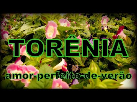 TORENIA - amor-perfeito-de-verão