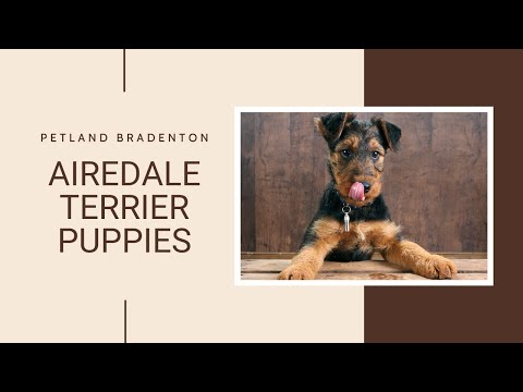 Airedale Terrier Fun Facts