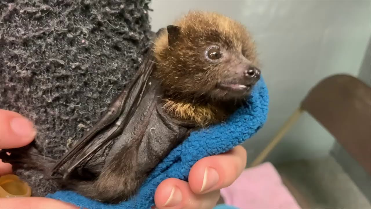 Three Rare Rodrigues Flying Foxes Babies Born