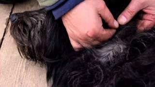 Как обработать собаку от клещей(Берем собаку и обрабатываем ее от клещей., 2014-04-21T16:17:41.000Z)