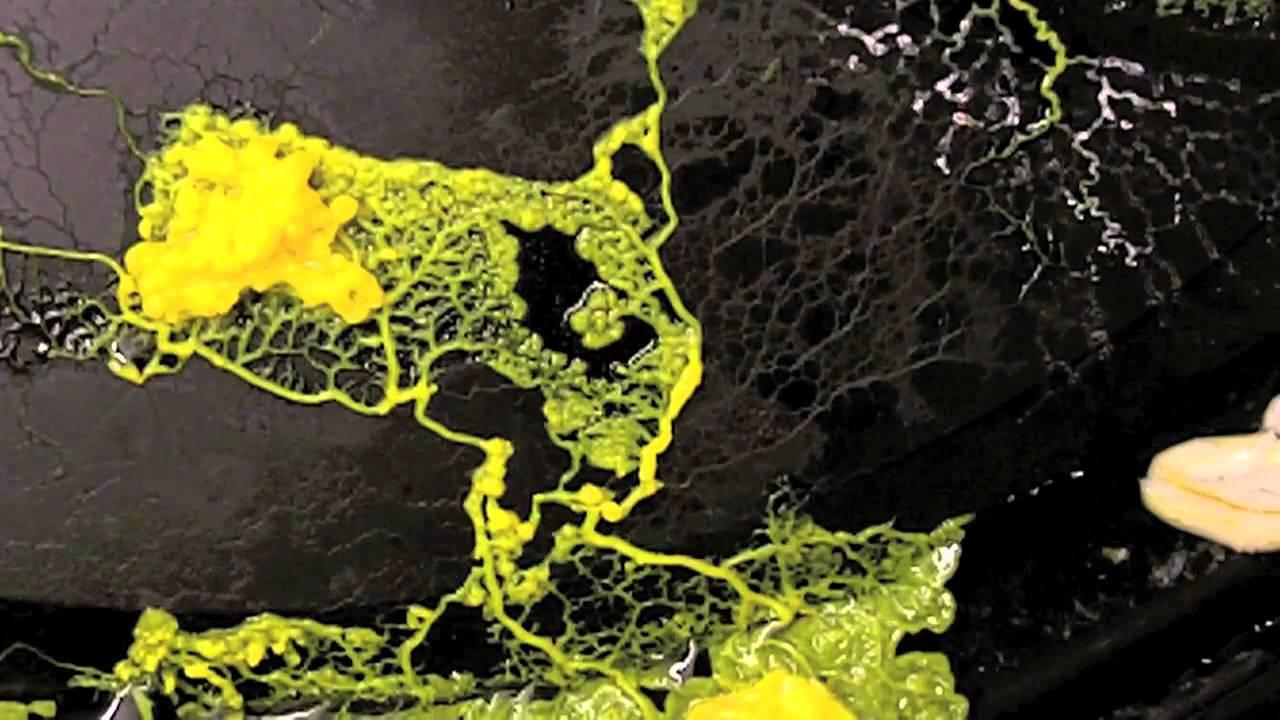 Plasmodial Slime Mold Physarum Polycephalum YouTube