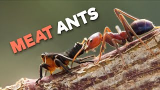 Meat Ants | The Kickboxing Ants From Down Under