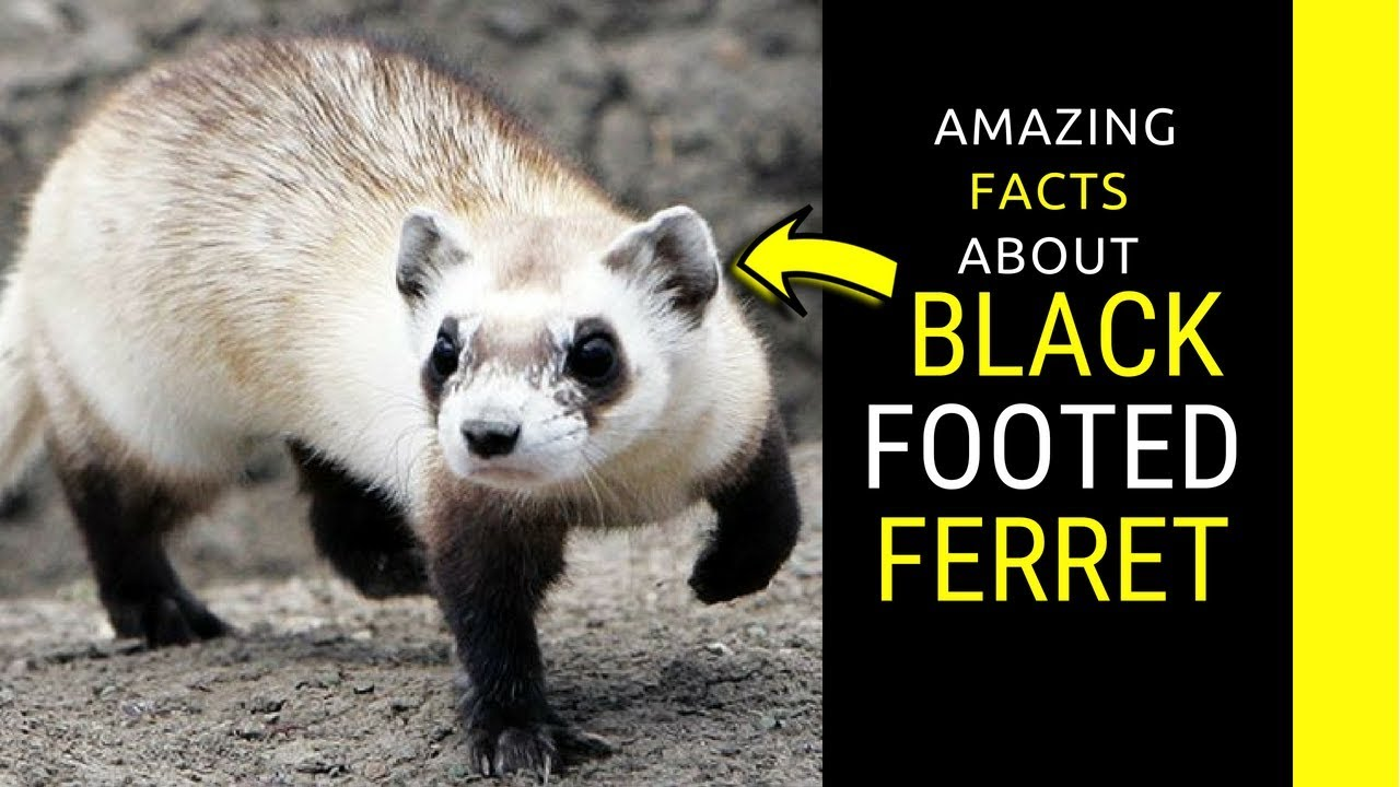Black Footed Ferret facts and information for kids. - YouTube