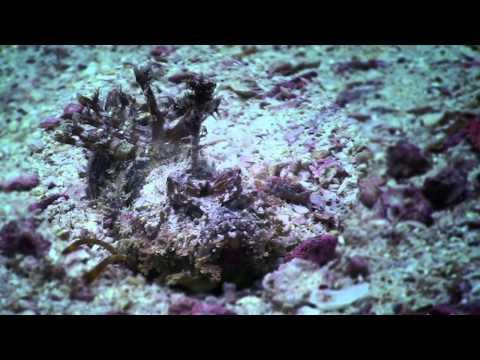 Scorpionfish White Rock, Koh Tao