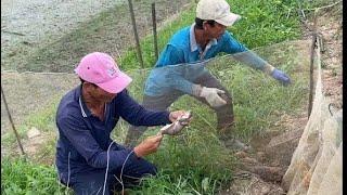Chuột Phá Lúa Mới Lên Nên Phải Bắt Cho Bằng Được   BLĐT T19