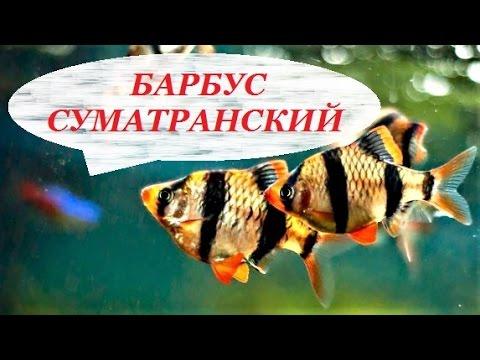 Аквариумная рыбка барбус суматранский. Барбусы содержание, размножение, уход и совместимость