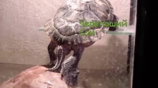 Красноухая черепаха спит на высоте