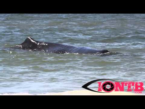 Sperm Whale is euthanized after beaching itself on Madeira Beach