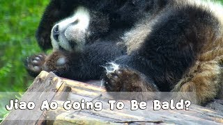 Jiao Ao Scratches Herself From Noon to Night. Is She Going To Be Bald? | iPanda