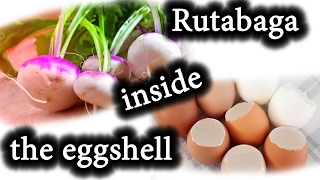 How to Start Seeds for Spring planting. Growing Rutabaga
