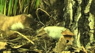 Hermelijn stoat vrouw, man en rat.