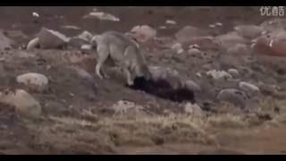 Volf v Dogs. Volf Wins / Собаки против Волка