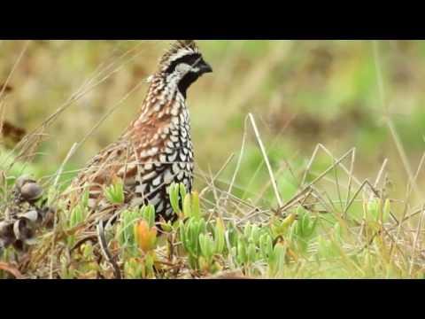la-codorniz-yucateca/-colinus-nigrogularis/yucatan-bobwhite.-corto-documental