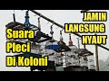 Di Jamin Ngamuk Gacor Ngalas Isian Pleci Anda  Mp3 - Mp4 Download
