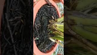 Cách trồng lan kiếm tiên vũ, kiếm lô hội đơn giản và hiệu quả ạ !