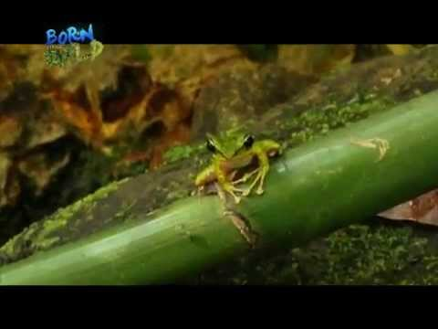 """Doc Nielsen meets the """"responding"""" Luzon Torrent Frogs in Catanduanes 