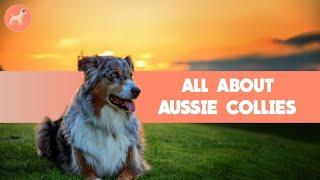 Border Collie Australian Shepherd Mix (Aussie Collies): Dog Breed Information