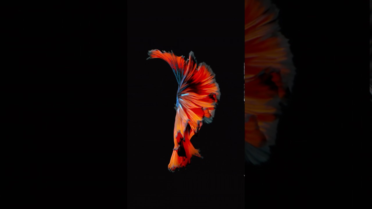 Wallpaper iphone fish - Betta Fish Wallpaper Iphone 6s