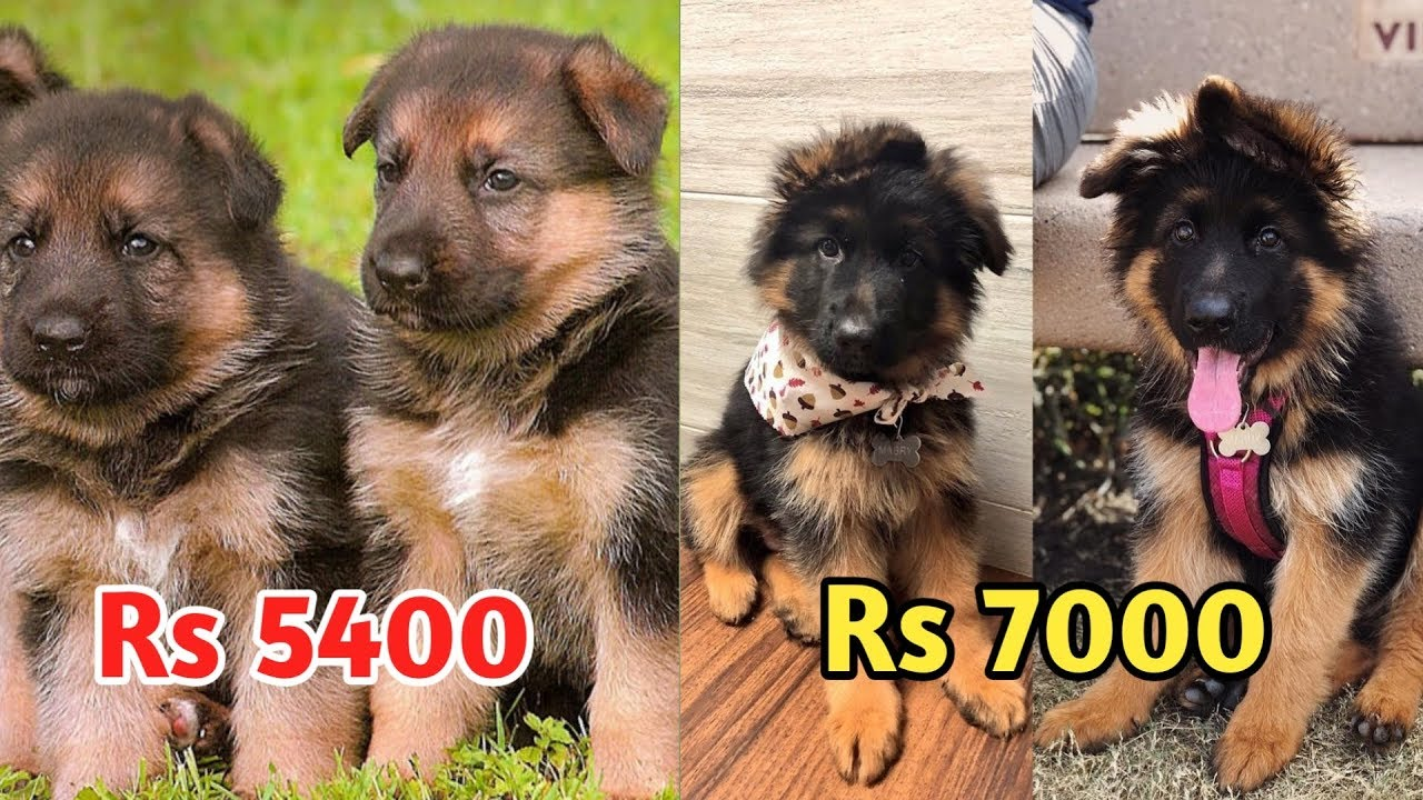 German Shepherd Price Difference German Shepherd Price Quality