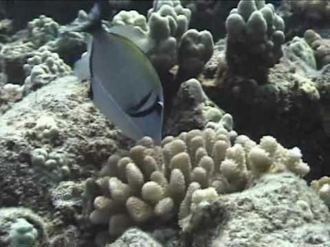 Bursa Triggerfish Cruising Around the Reef
