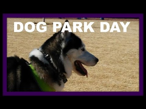 Siberian Husky Dog Park Day 104 With Shadow Charlie Amber