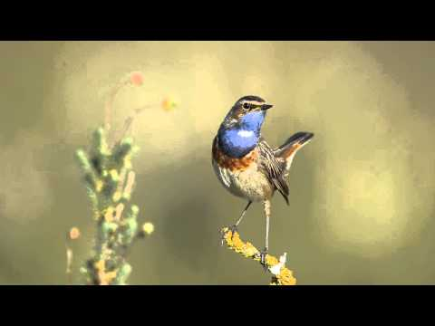 Gorge bleue mâle