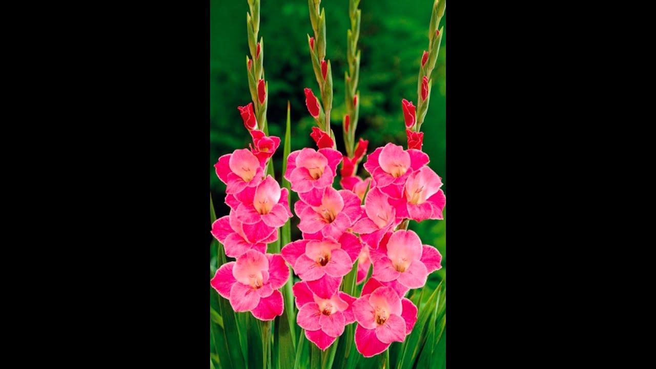 Цветы гладиолусы фото и картинки