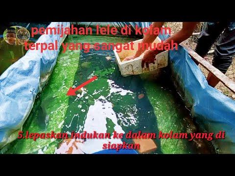 Proses pemijahan ikan lele di kolam terpal