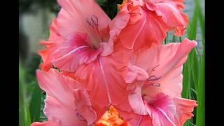 Гладиолус - нежный и торжественный цветок(Гладиолус - роскошный и в то же время нежный , очень красивый цветок. Его еще называют шпажник, он очень люби..., 2014-12-10T17:54:28.000Z)
