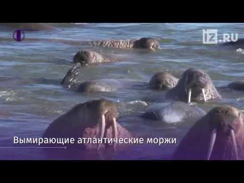 Моржи вернулись в Белое море
