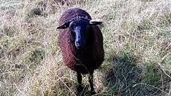 Voiko lammas näyttää enää tyhmemmältä?