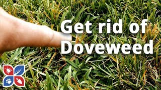 Do My Own Lawn Care  -  How to Get Rid of Doveweed