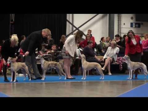 Champion class Whippet males, Jyvskyl Int dog show 17.11.2013