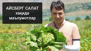 Салат етиштириш («АЙСБЕРГ» туридаги) агротехникаси хақида маълумотлар.