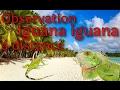 Une journée avec l'iguane vert (Iguana iguana)