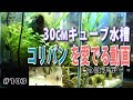 【30cmキューブ水槽】久しぶりにコリドラス・パンダをじっくり楽しみたい!【水草水…