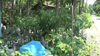 Budidaya Cabe Rawit Putih Gendut dalam karung secara organik