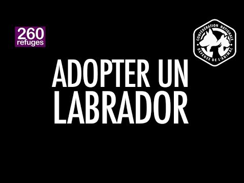 Adopter Un Labrador Youtube
