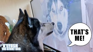 Shocked Husky Recognises Himself On TV!
