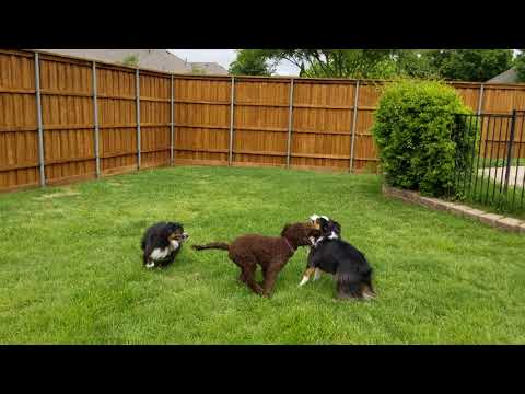 Mini-Aussies and Lagotto Romagnolo playing