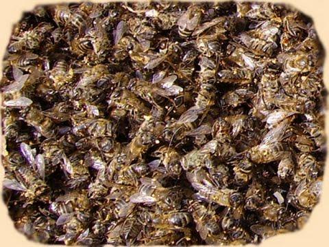 как пользоваться пчелиным подмором