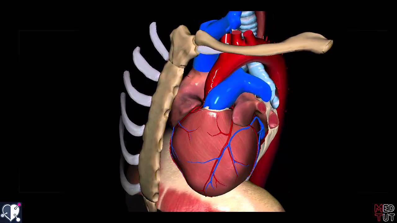 Herz - Einführung, Form, Abschnitte & Lage - YouTube
