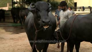 Ganga and her calf: million dollar buffalo family